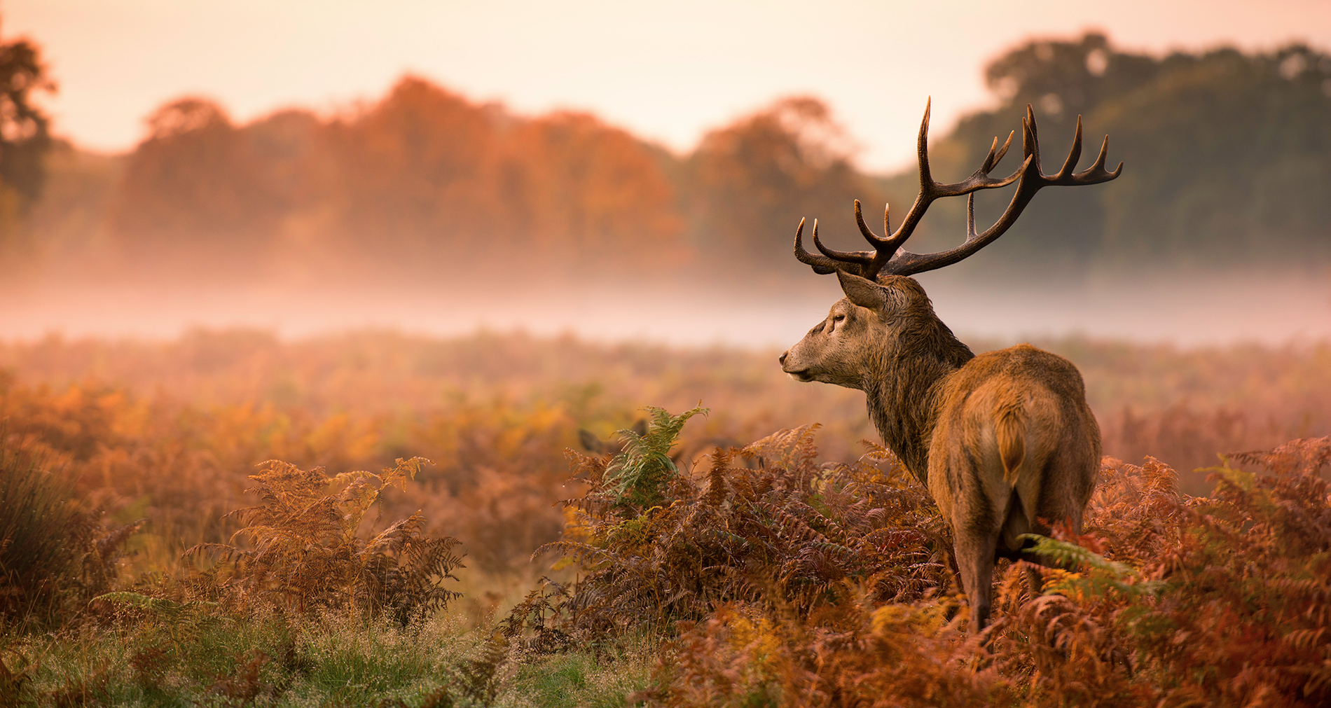 Red deer as raw material